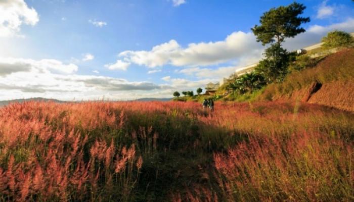 Đồi cỏ hồng Đà Lạt biến thành cỏ tuyết sau một đêm