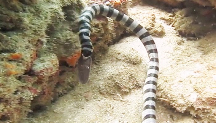 Rắn biển ăn tươi nuốt sống lươn khổng lồ